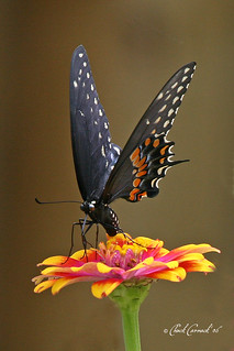Black Swallowtail | by North Carolina Museum of Natural Sciences
