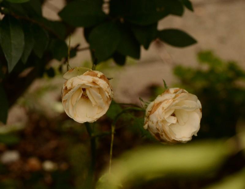 Roses 17.08 (6)