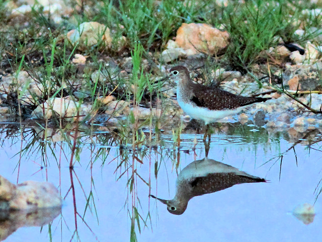 Solitary Sandpiper HDR 01-20160917
