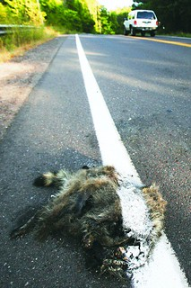 Roadkill Raccoon | by DogByte6RER
