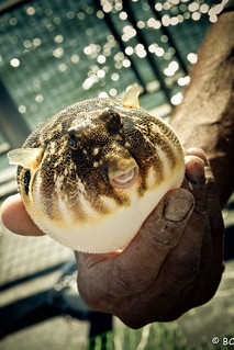 Puffer Fish | by Ben A Cobb Photo