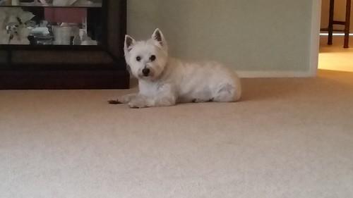 Daisy Westie Watching