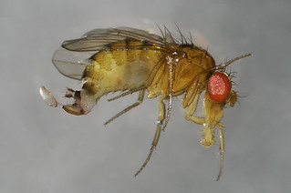 drosophila | by Maine Public Broadcasting