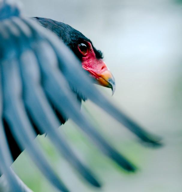 Bateleur Eagle_1