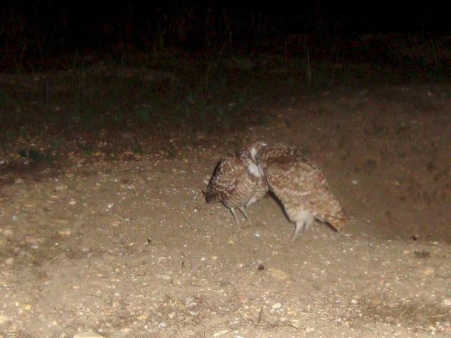 burrowing owls 13