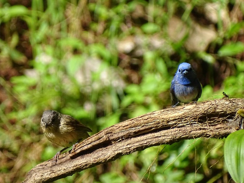 Black Naped Monarch and Rusty Flycatcher