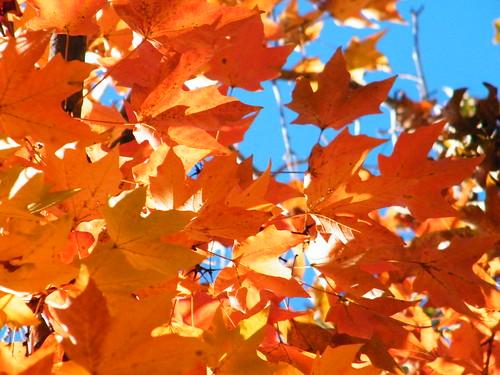 Autumn leaves, Middleburg, VA
