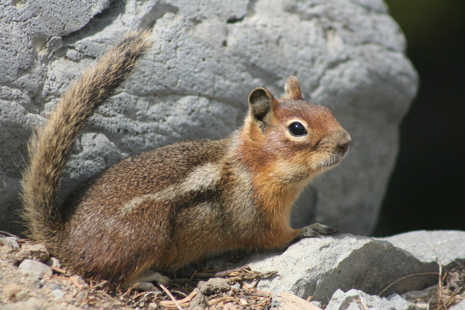 Cascades Golden-mantled Ground-Squirrel
