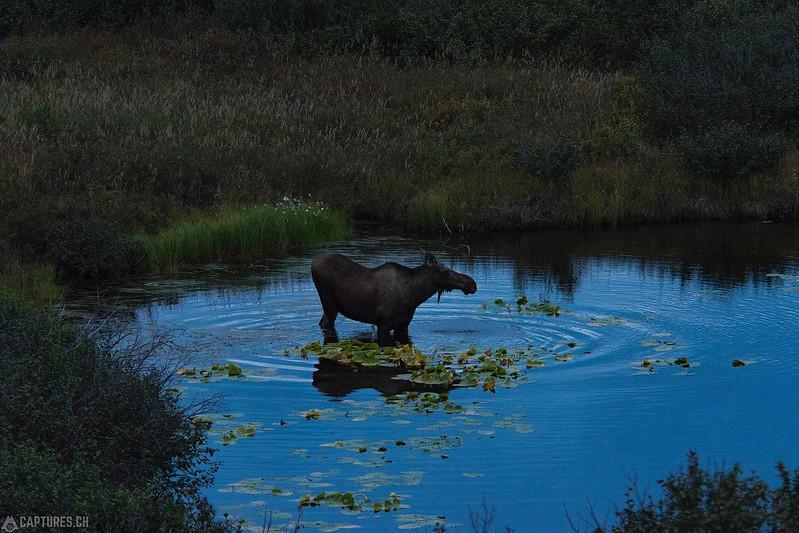 Morning bath - Denali National Park