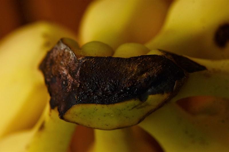 Banana Stalk 17.08 (1)