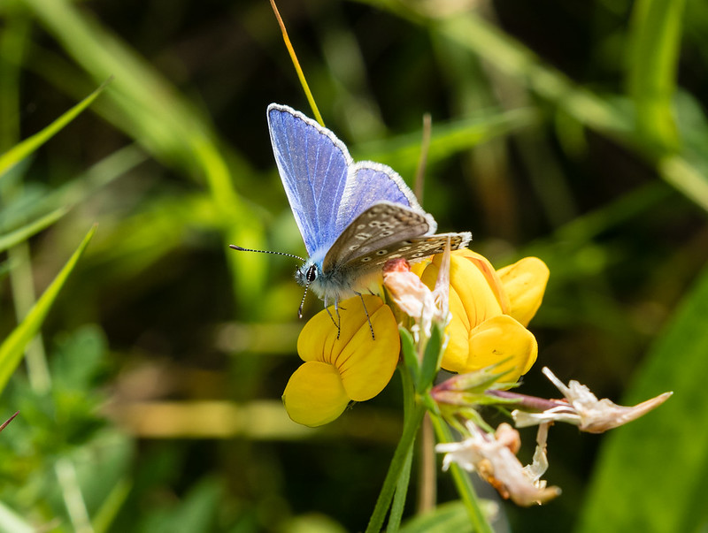 Common Blue Butterfly 055b (320)