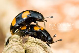 Fungus beetles (Erotylidae) - DSC_9466