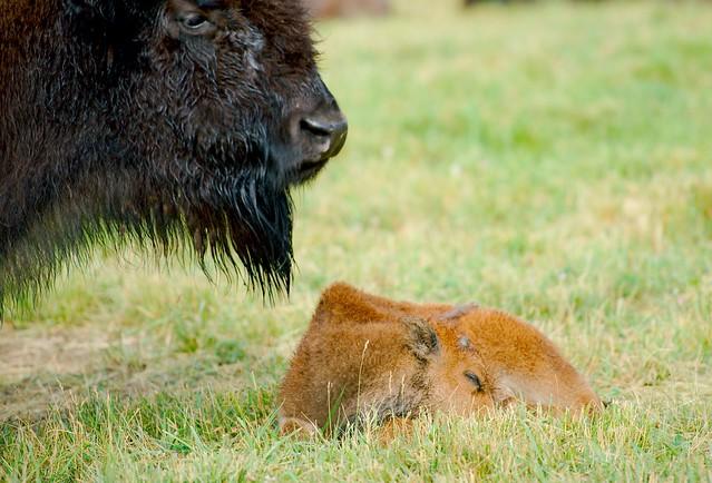 Bison (Bison bison)_6