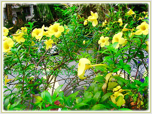 Allamanda cathartic or Golden Trumpet flowering profusely, 1 July 2016