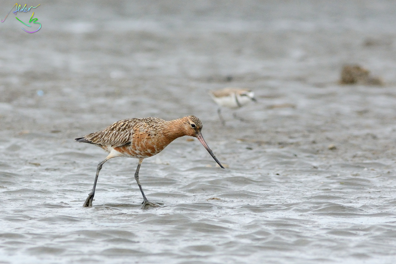 Bar-tailed_Godwit_0639
