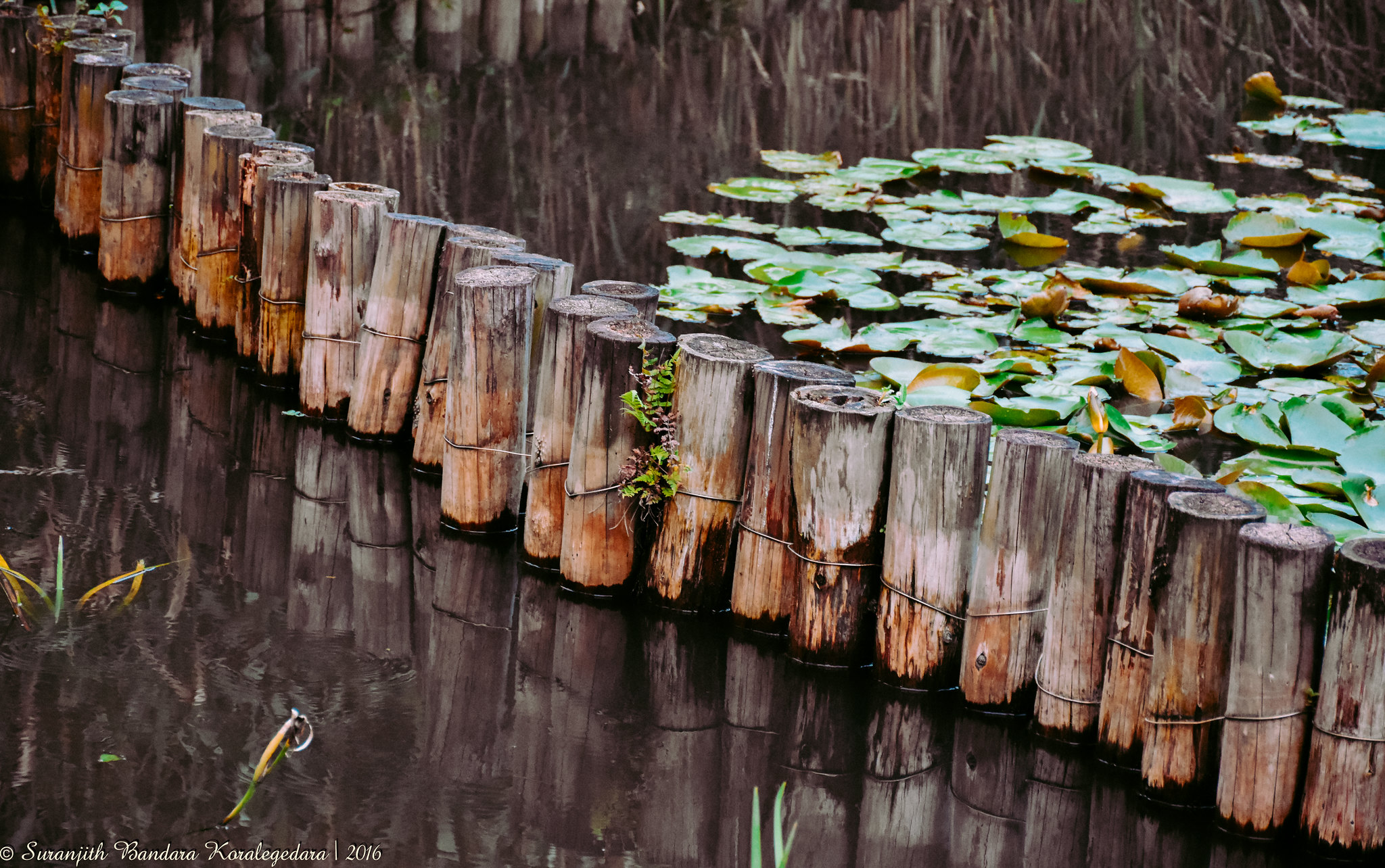 Pond - 1