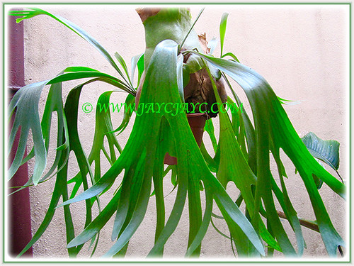 Platycerium bifurcatum or Staghorn Fern loves the shade at the courtyard, 31 July 2016