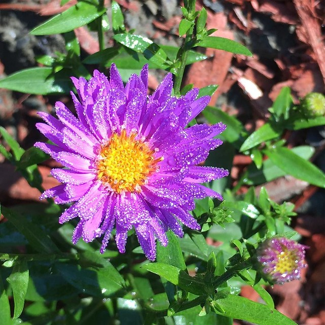 Purple aster sparkles with morning dew. ✨✨✨✨✨