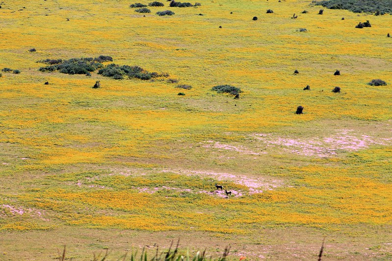 Bontebok and flowers in the Donkergat area