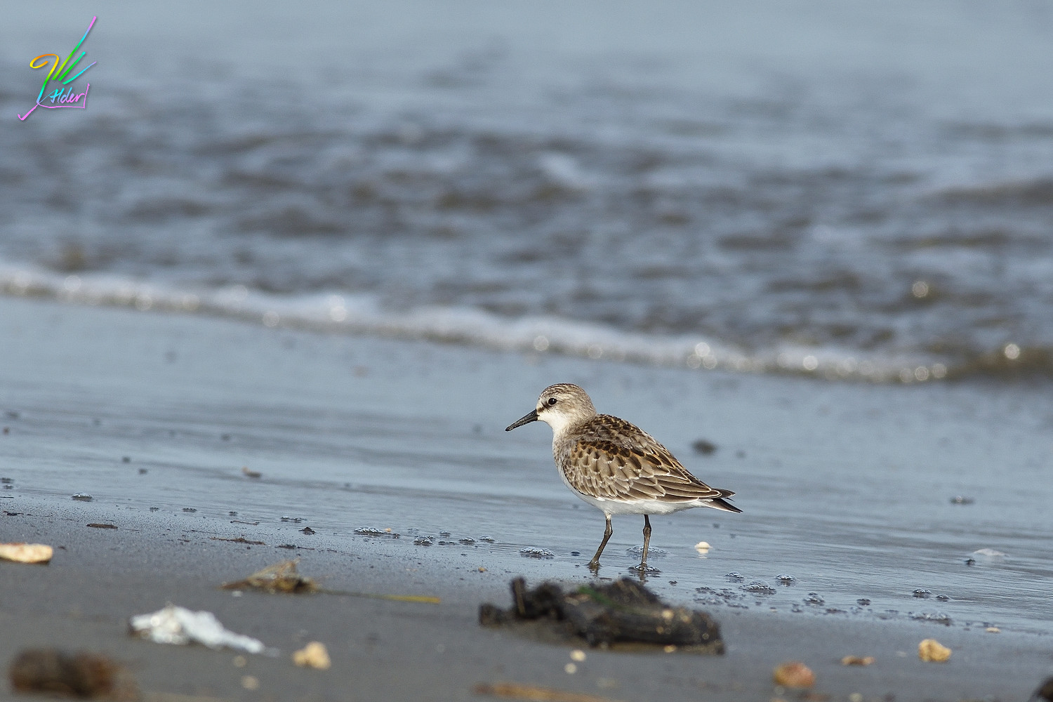 Red-necked_Stint_0368