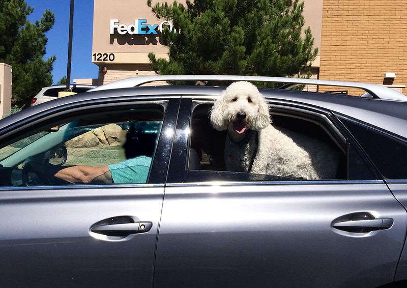 Poodle In A Car