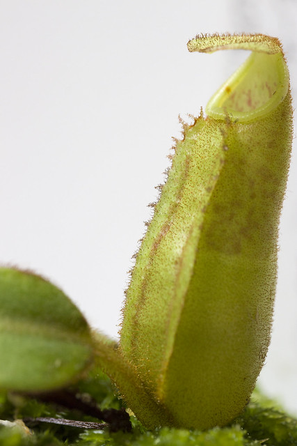Nepenthes veitchii Bario BE sg