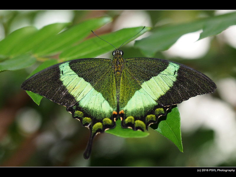 Emerald Swallowtail (Papilio palinurus)