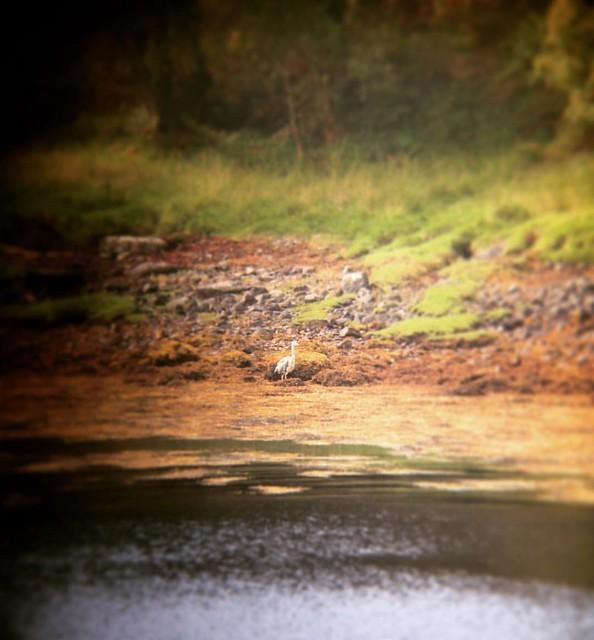 Heron at Garbh Eilean Wildlife Hide, Loch Sunart, Scottish Highlands (Shot on an iPhone through a telescope, hence the wobbles!) #scotland #lochsunart #scottishhighlands #scottishscenery #garbheilean #sealoch #heron #scottishwildlife