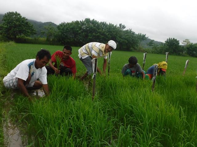 Organic Rice Transplanting in Magsaysay, Mindoro Occidental