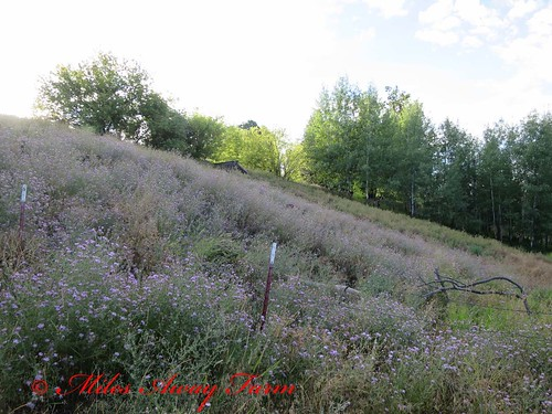 Hillside of Knapweed