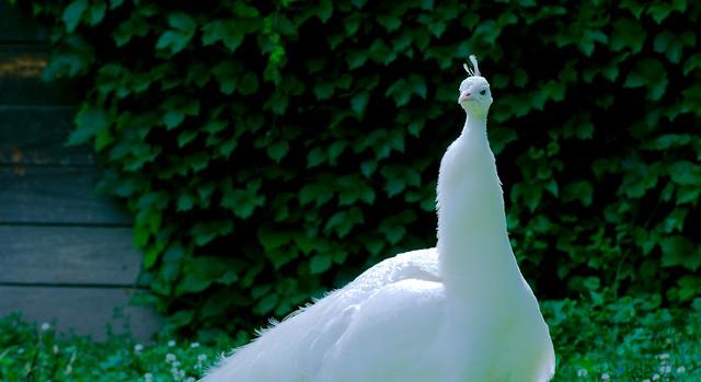 Peacock_34