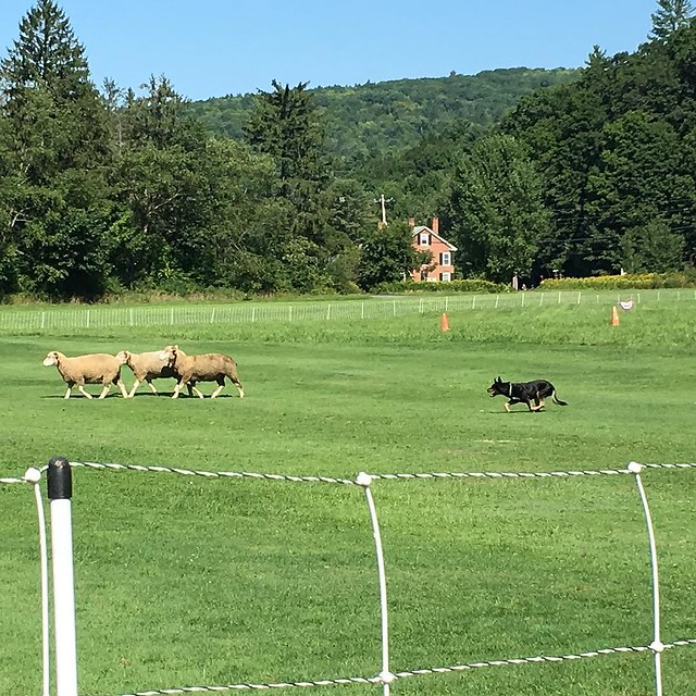 #sheepdogtrials #quecheegames #vermont