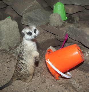 Slender-tailed Meerkat | by Smithsonian's National Zoo