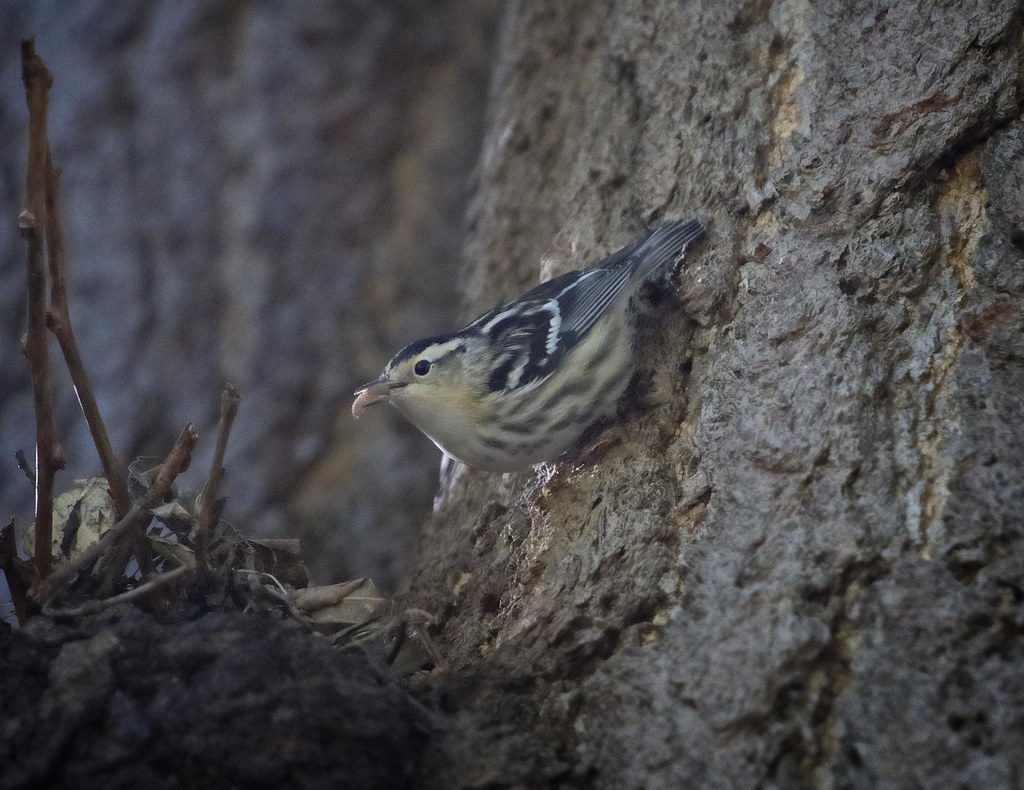 Black & White warbler with grub