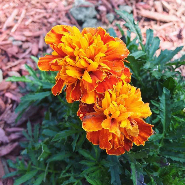 I'll never get tired of marigolds. Put these in on Memorial Day; still blooming on Labor Day.