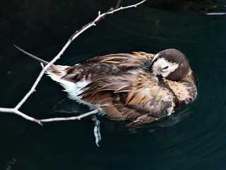 Sleeping duck, Central Park Zoo | by Ed Gaillard