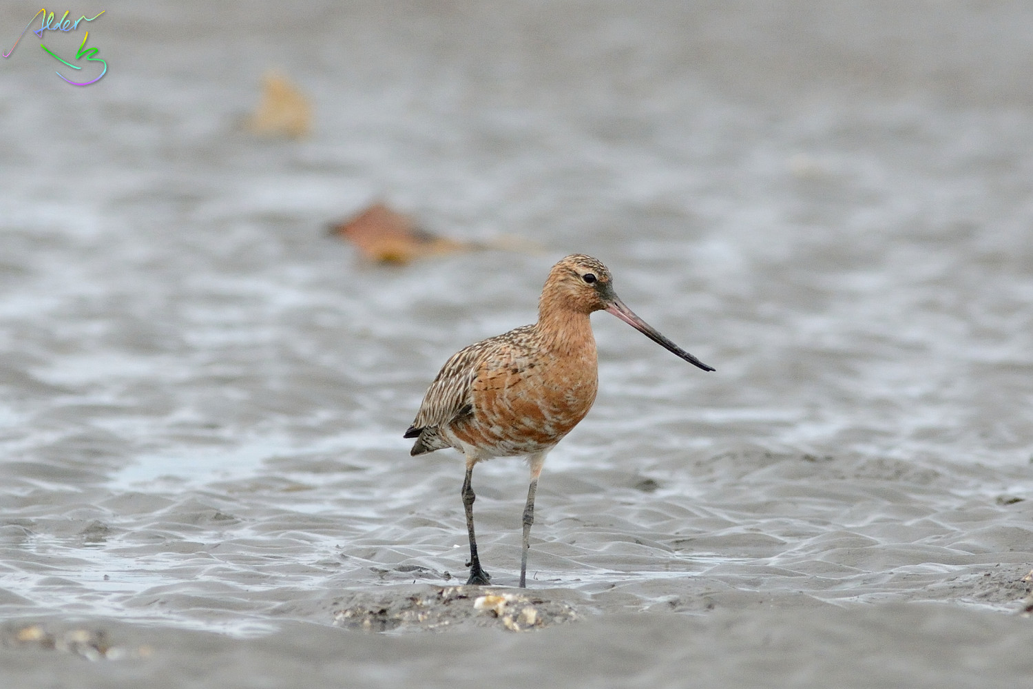 Bar-tailed_Godwit_0572