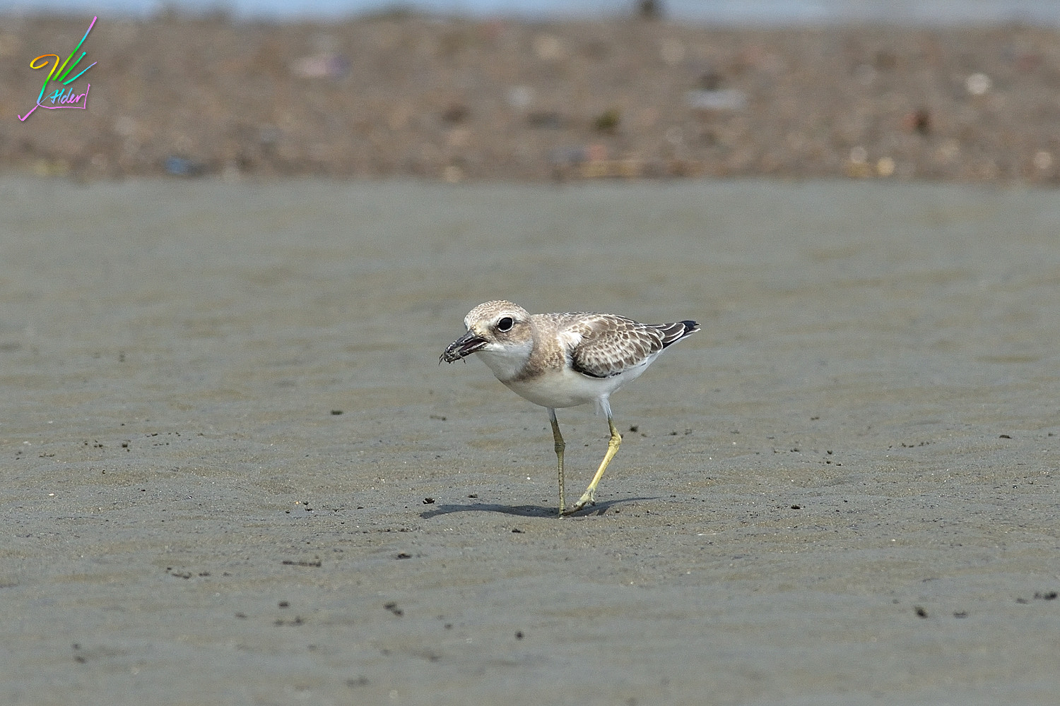 Greater_Sand_Plover_3015