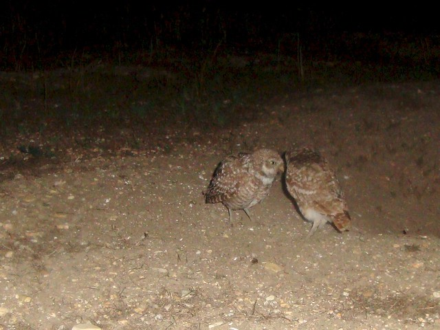 burrowing owls 14