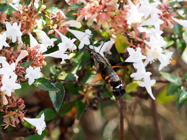 Humingbird hawk moth (ホシホウジャク)