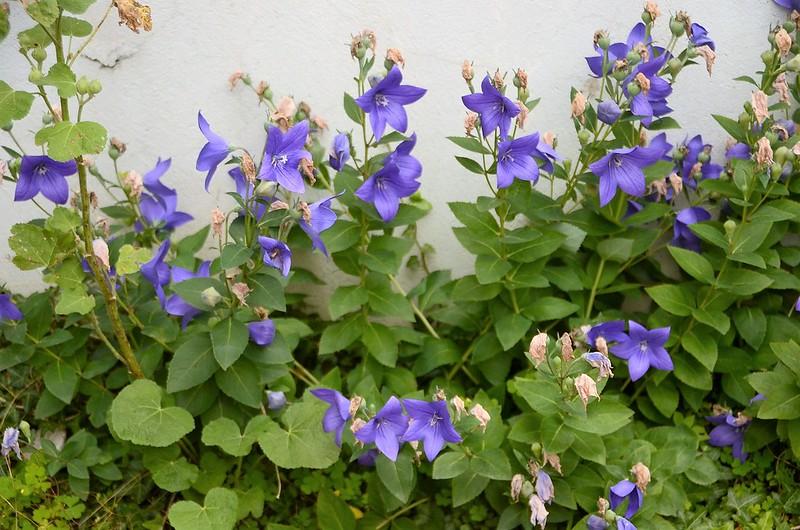 Bell Flower 28.07 (3)