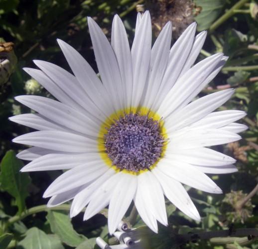 Arctotis stoechadifolia 8115002139_40a5055d7a_o