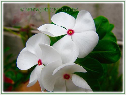 Lovely white flowers Periwinkle with red eye, 5 Aug 2016