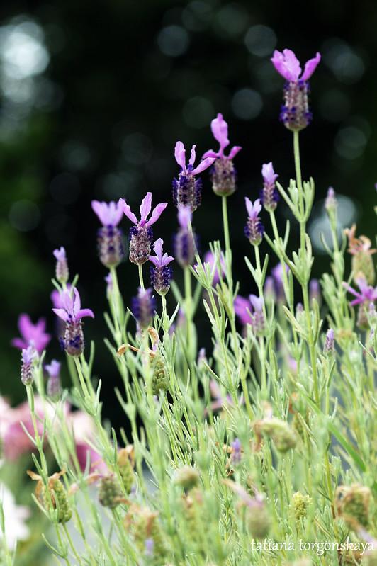 Куст лаванды во время цветения
