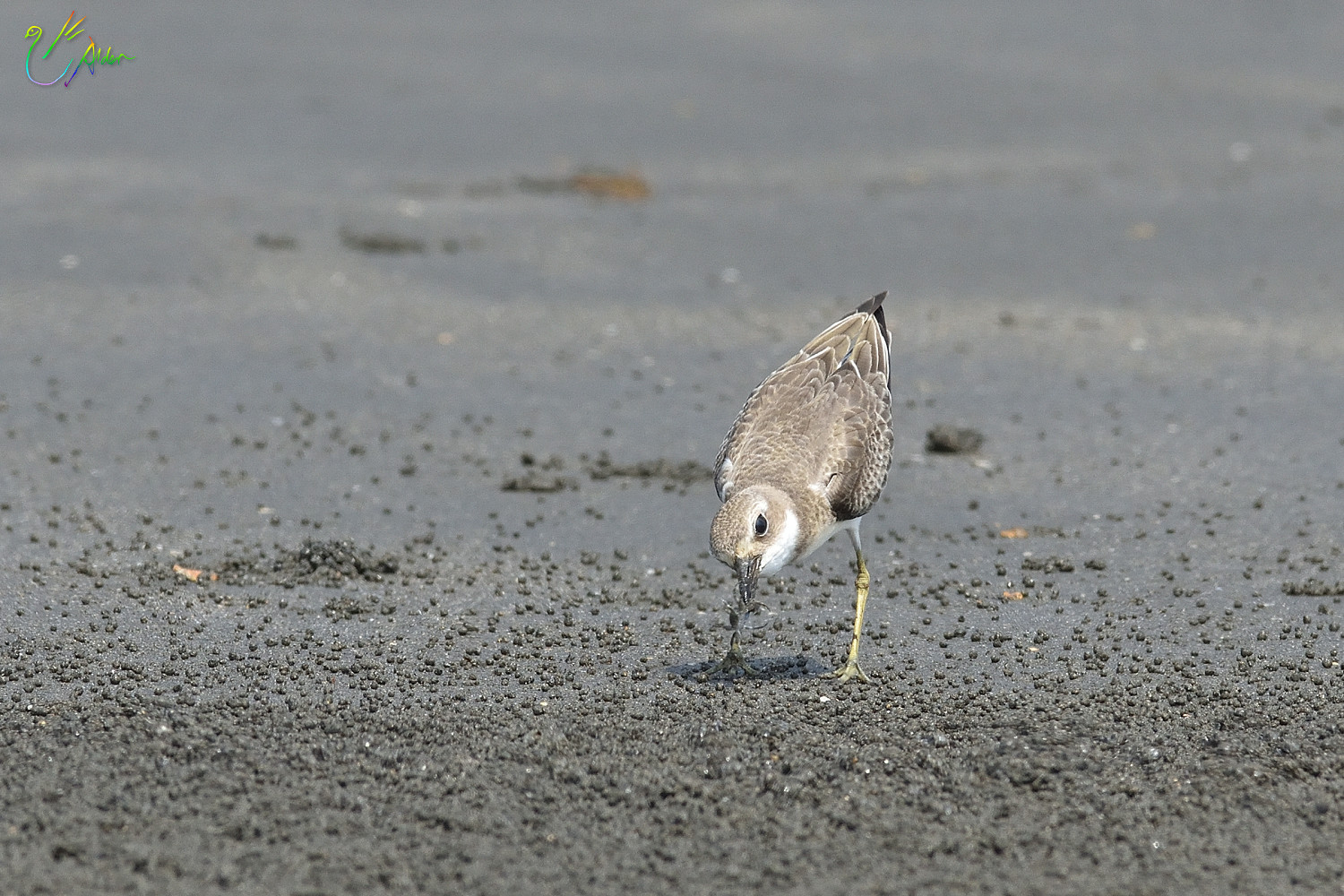 Greater_Sand_Plover_2154