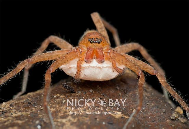 Huntsman Spider (Heteropoda sp.) - DSC_2355