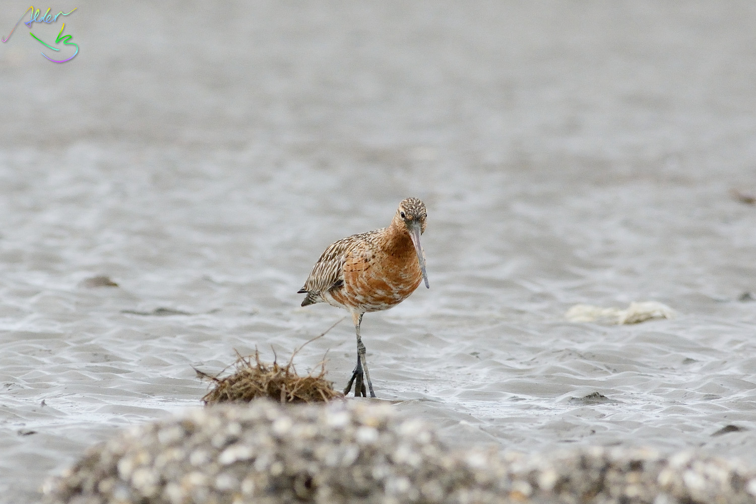 Bar-tailed_Godwit_0564