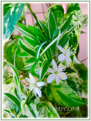 Flowering Variegated Spider Plant at our car porch, 17 Aug. 2016