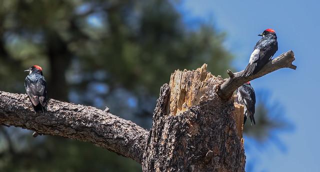 Acorn-Woodpecker-3A-7D2-081516