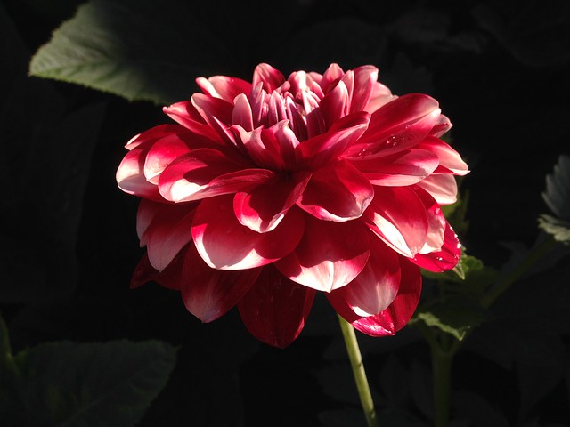 My favourite DeliDahlia in bloom - Hoamatland.